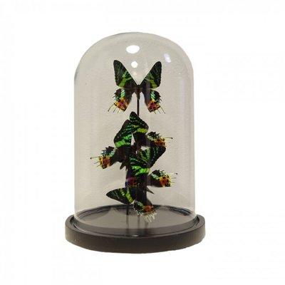 4 Vlinders Urania Ripheus in stolp